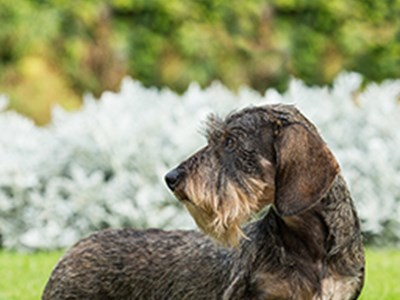 Dachshund (Miniature Wire Haired) standing