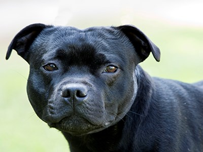 Staffordshire Bull Terrier headshot