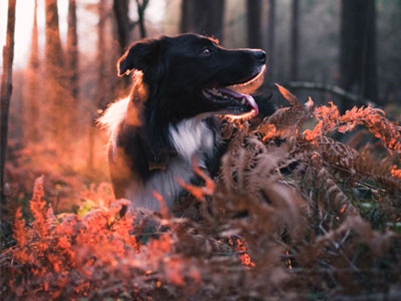 Collie in the woods with red sun light