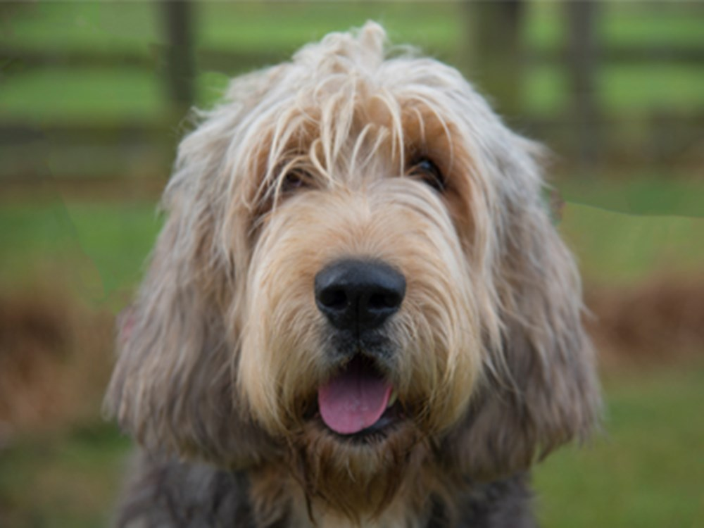 Otterhound with mouth open