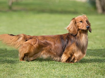 Dachshund (Long Haired) standing
