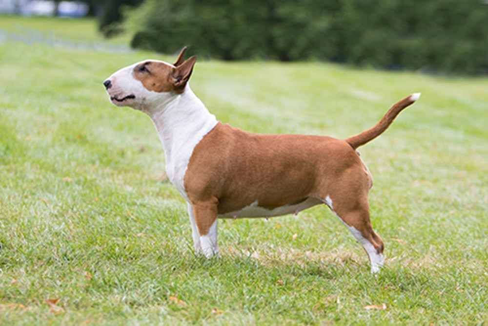 Bull Terrier Miniature Breeds A To Z The Kennel Club