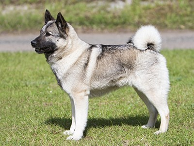 Norwegian Elkhound standing