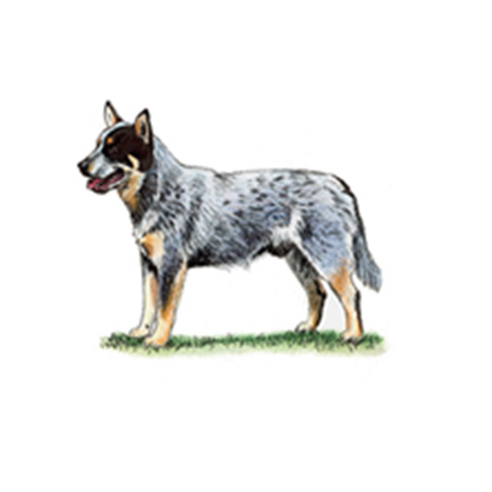 Australian Cattle Dog illustration