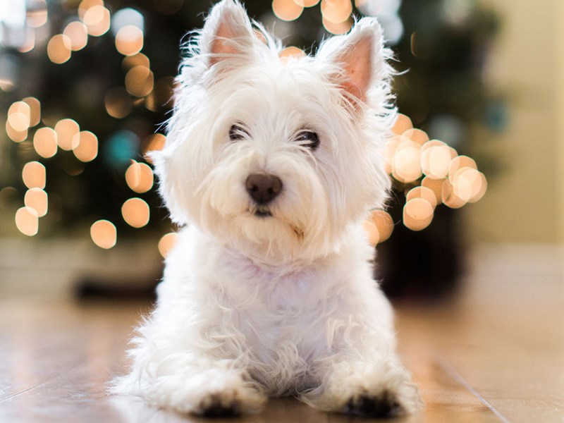 Westhighland White Terrier laying down near Christmas tree