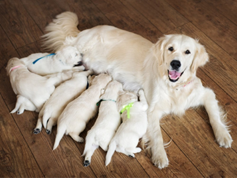 Labrador mum with Labrador puppies laying together
