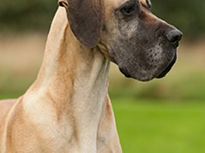 Great Dane headshot