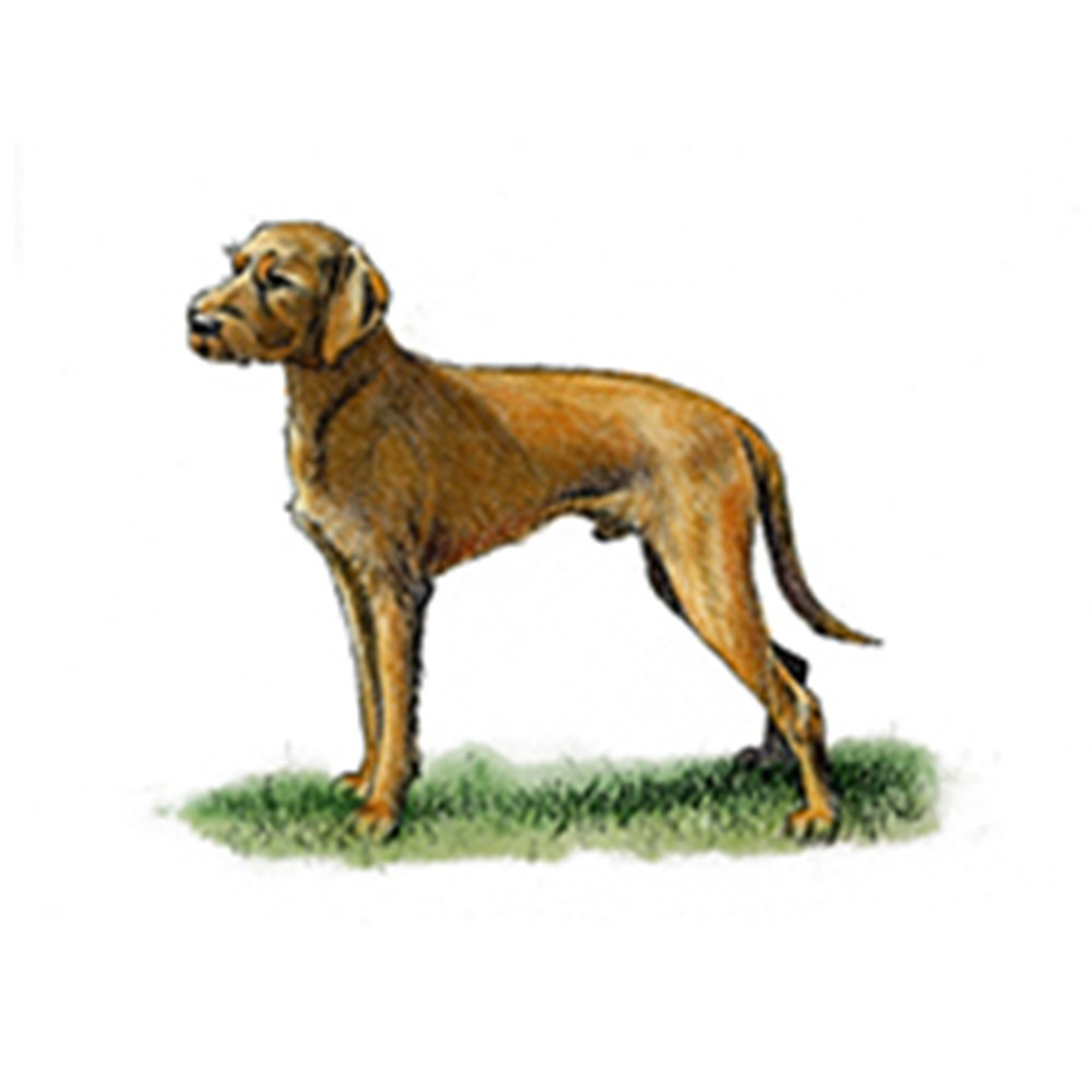 Hungarian Wire Haired Vizsla illustration