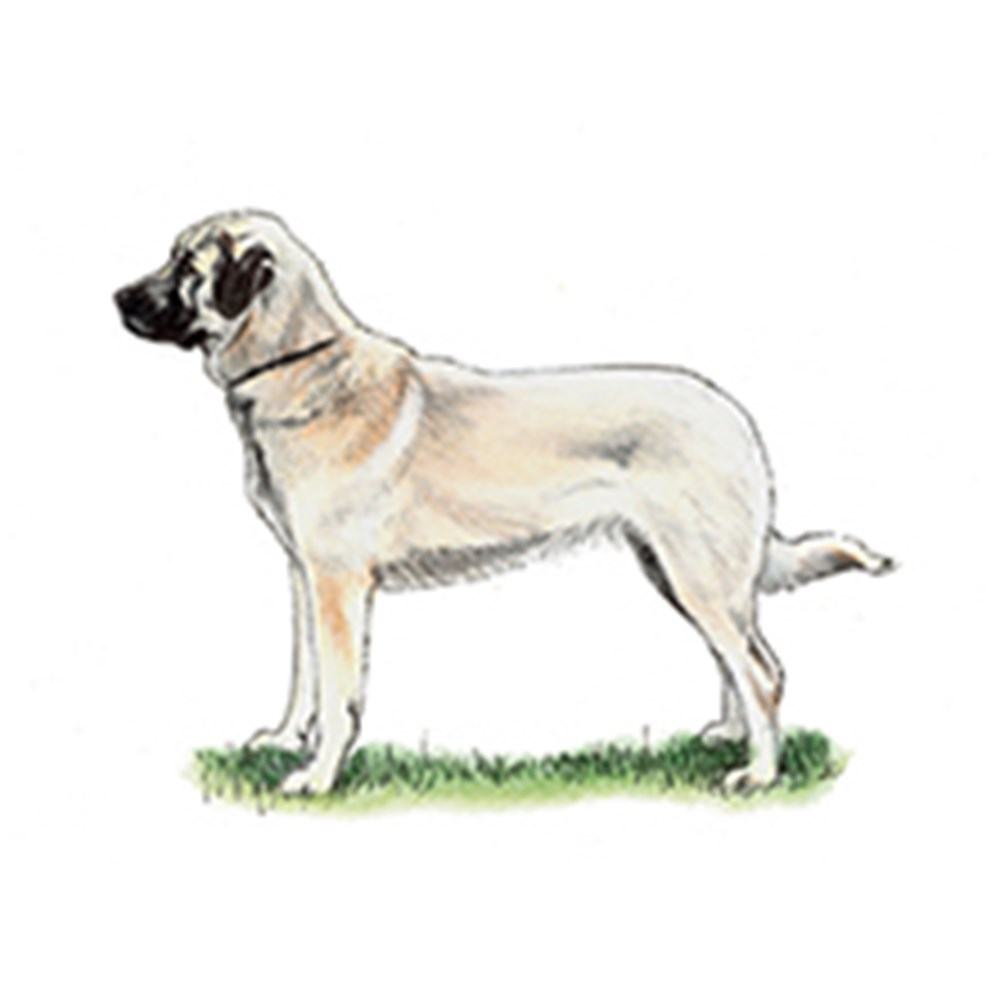 Anatolian Shepherd Dog illustration