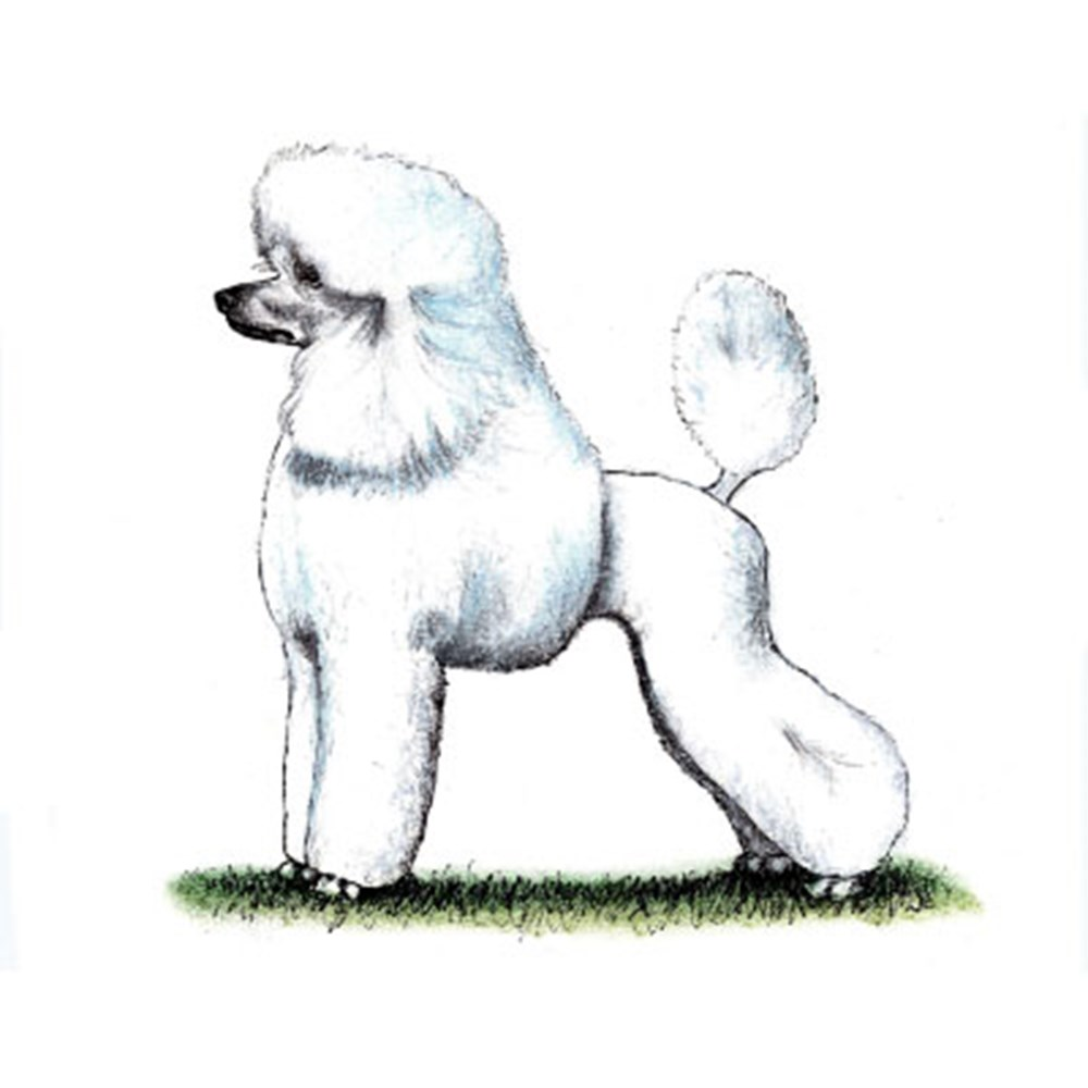 Poodle (Standard) illustration