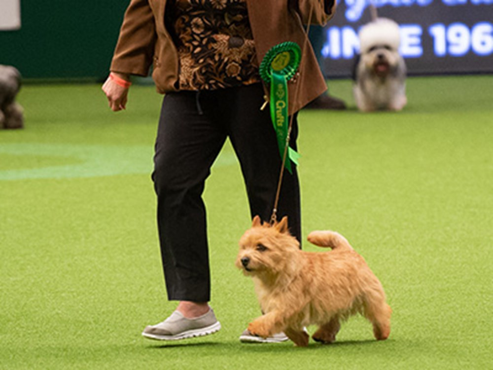 Lady in a brown jacket walking along with her dog on green carpet at Crufts