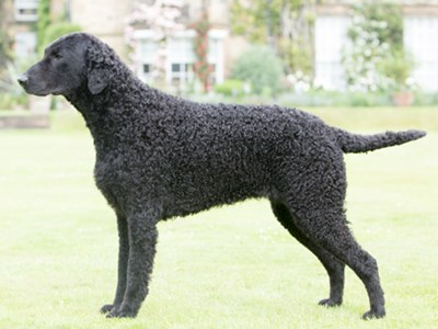 Retriever (Curly Coated) standing
