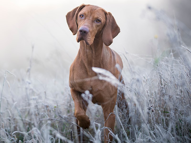 Vizla in a field during winter