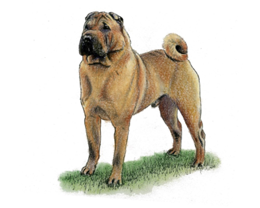 Shar Pei illustration