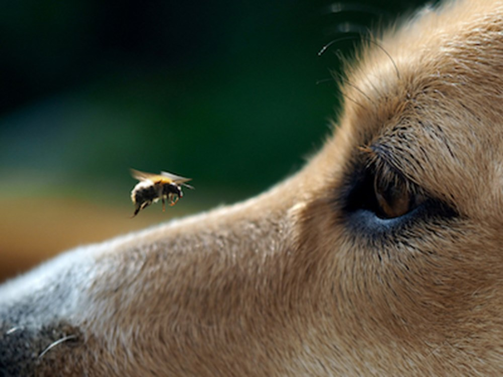 Dog with a bee hovering on its nose