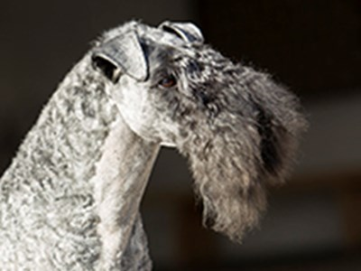 Kerry Blue Terrier headshot