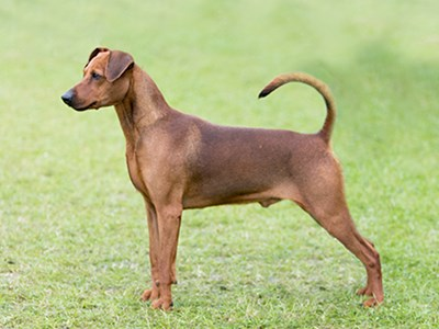 German Pinscher standing