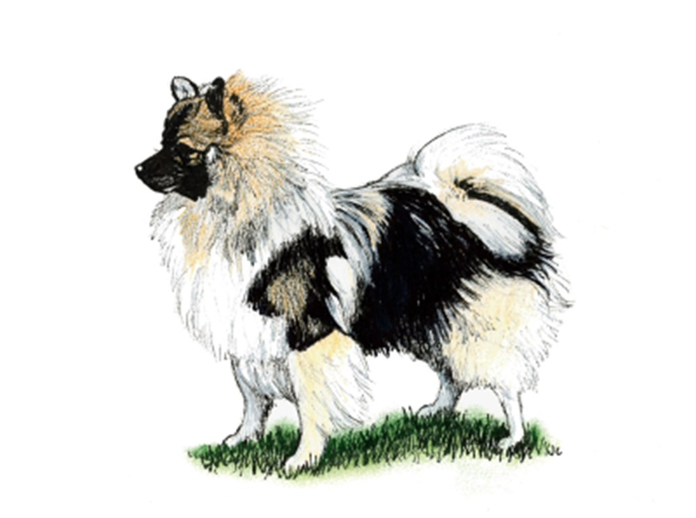 German Spitz (Klein) illustration