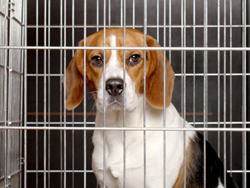 Beagle sat in cage