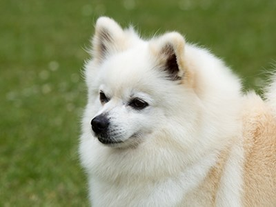 German Spitz Klein headshot