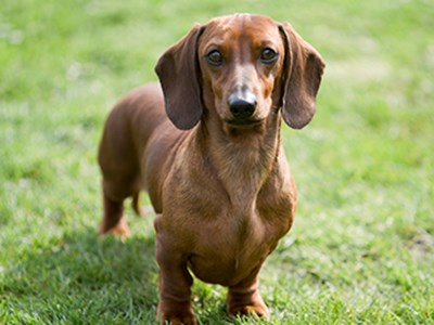 Dachshund (Miniature Smooth Haired) headshot