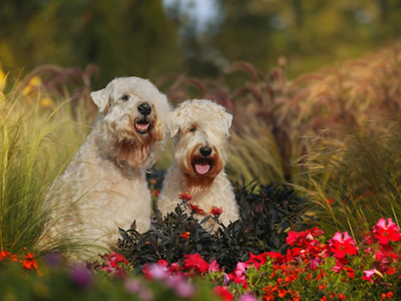 Two Wheaten Terriers sitting in amongst flowers