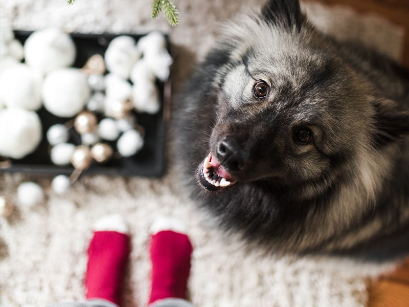 Dog looking up with Christmas decorations on the floor