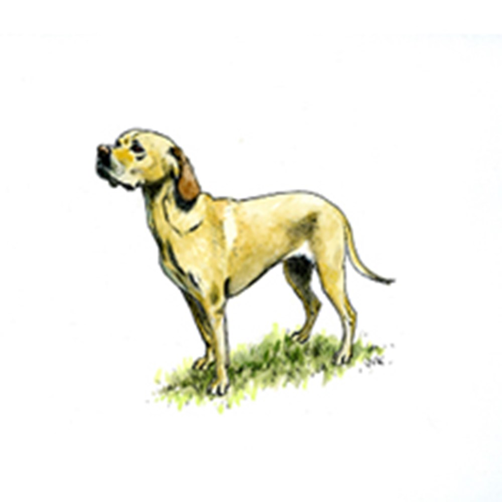 Portuguese Pointer illustration