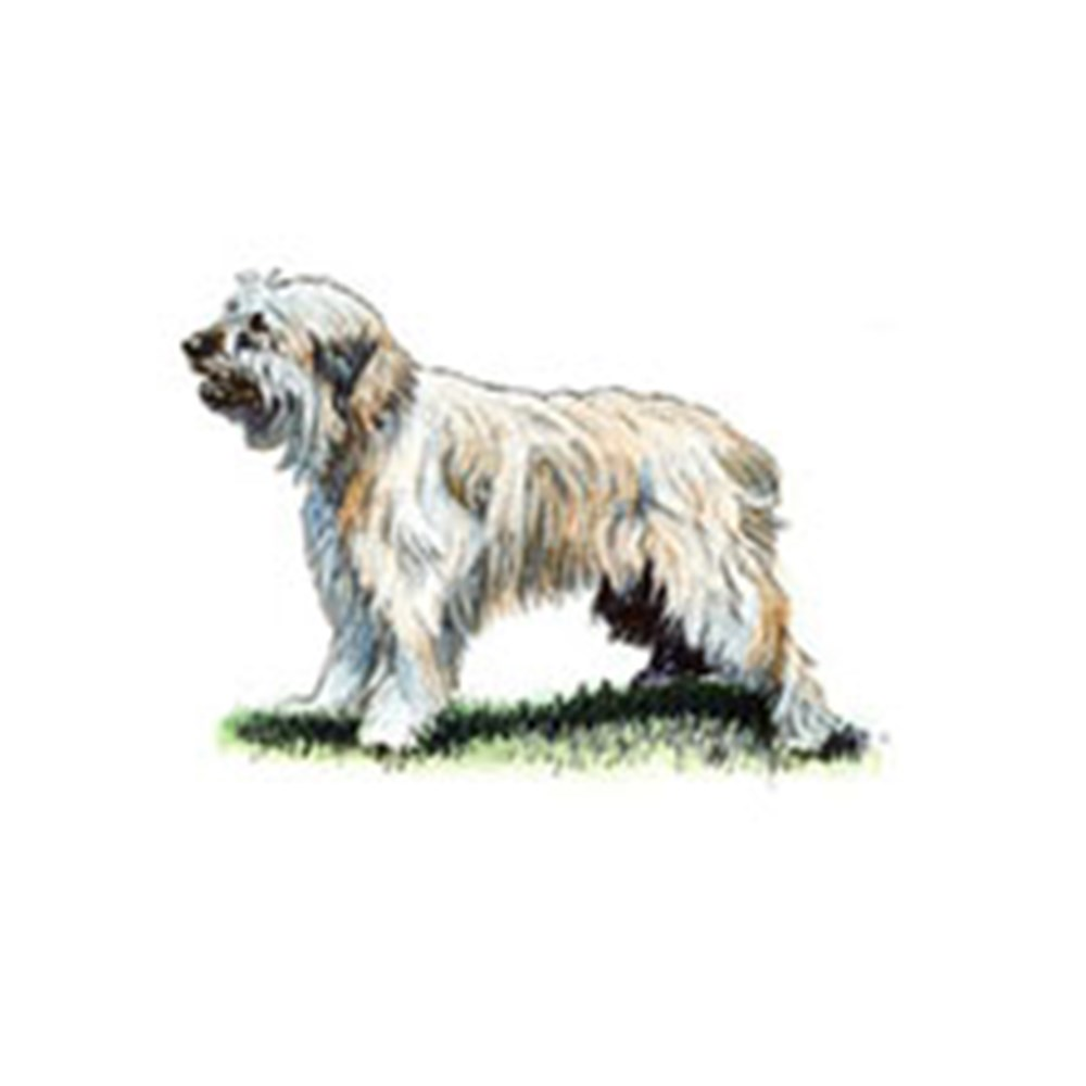 Catalan Sheepdog illustration