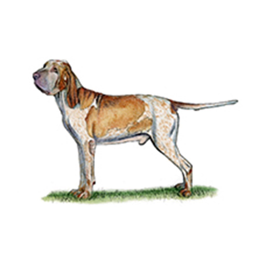Bracco Italiano illustration