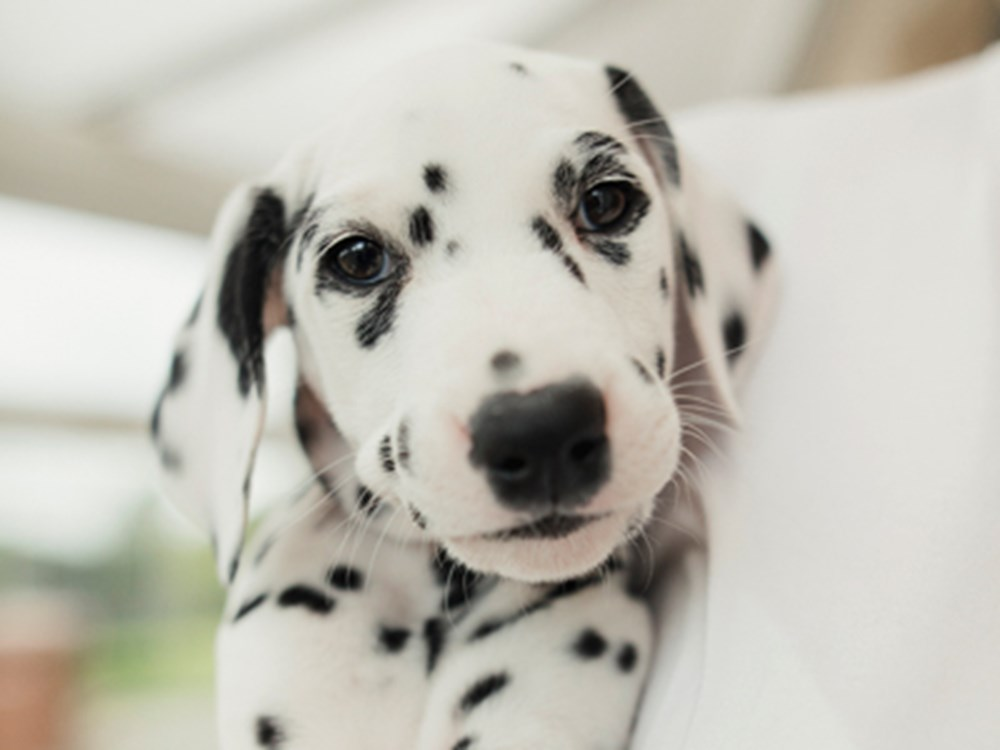 Dalmatian looking at camera
