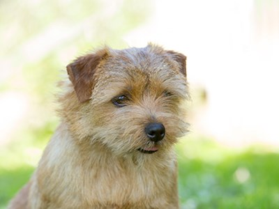 Norfolk Terrier headshot