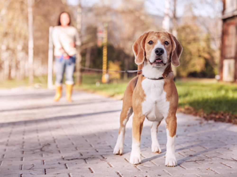 Beagle walking on a leash with female owner walking behind