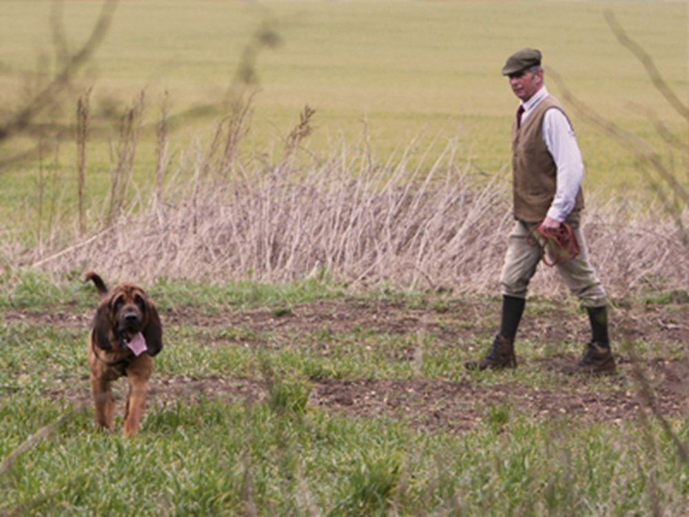 Bloodhound with tongue out walking a long with man behind
