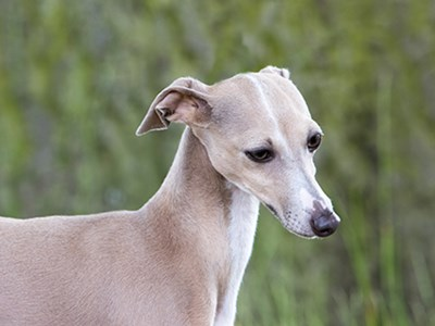 Italian Greyhound headshot