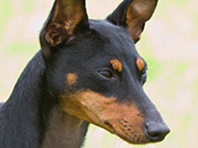 English Toy Terrier headshot