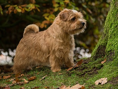 Norfolk Terrier standing