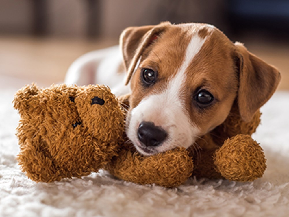 Jack Russell Terrier puppy with a teddy toy
