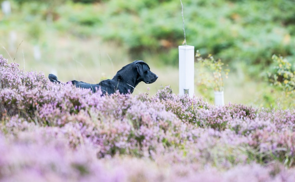 Labrador in the field