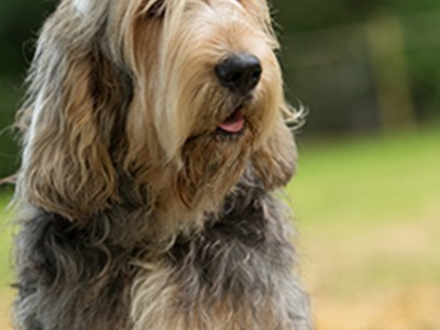 Otterhound headshot