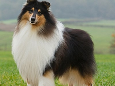 Collie Rough standing