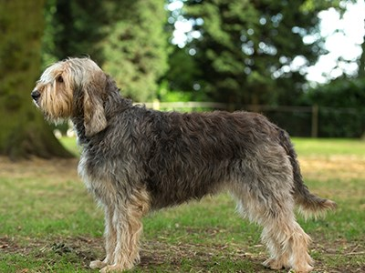 Otterhound standing