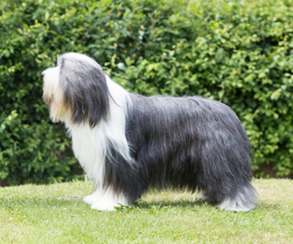 Bearded Collie | Breeds A to Z | The Kennel Club