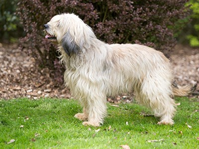 Catalan Sheepdog standing