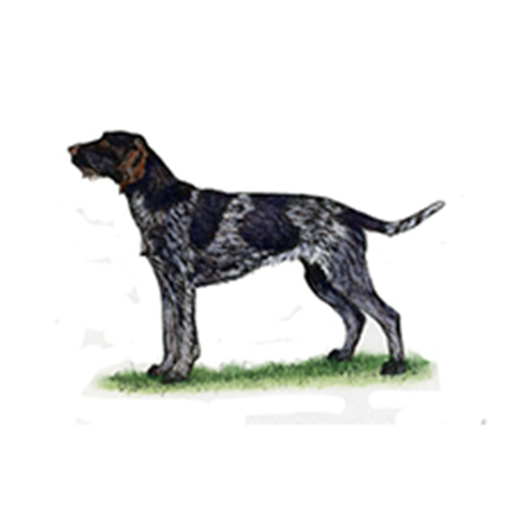 German Wirehaired Pointer illustration
