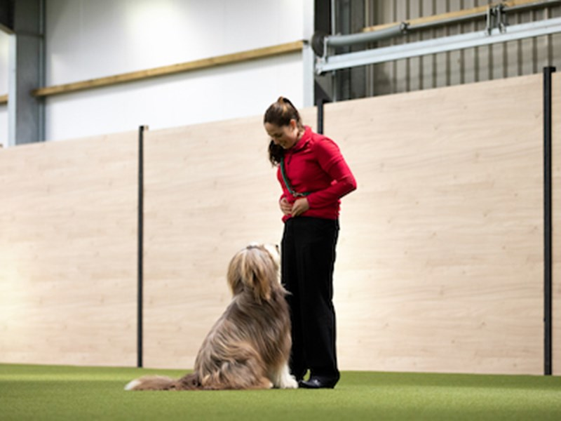 Dog at Crufts obediently looking up at handler