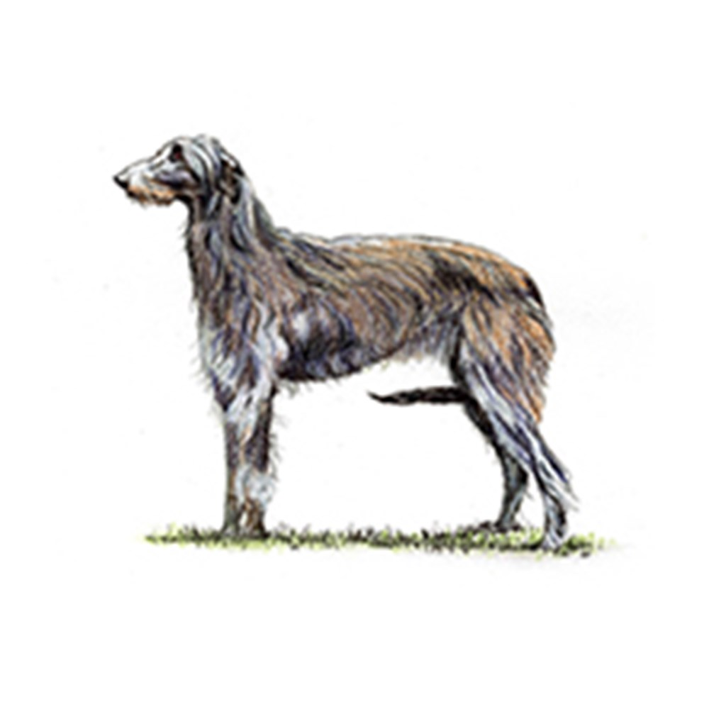 Deerhound illustration