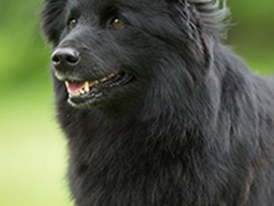 Swedish Lapphund headshot