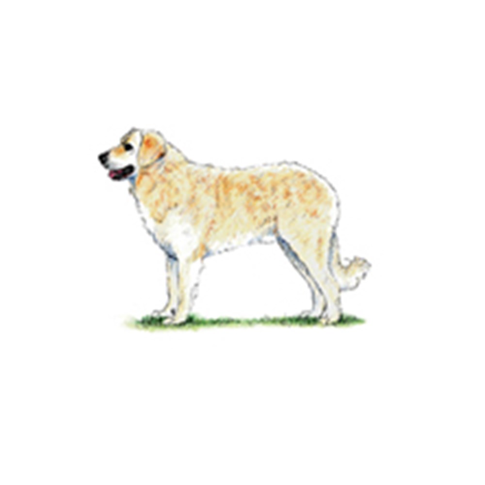 Hungarian Kuvasz illustration