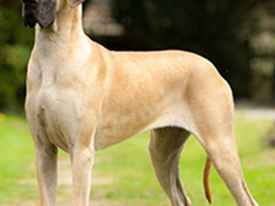 Great Dane standing